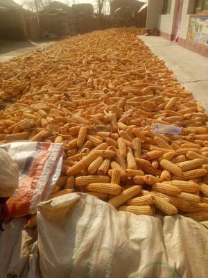 宁夏回族自治区吴忠市红寺堡区玉米干粮 净货 水份>30%