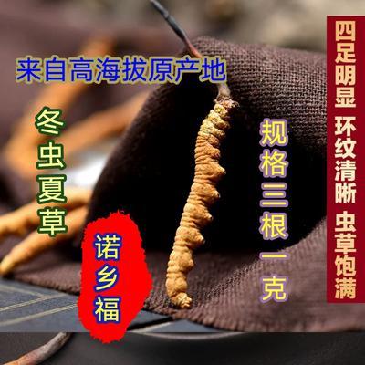 这是一张关于冬虫夏草  西藏那曲纯野生的产品图片