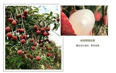 广东省汕头市潮南区黑叶荔枝 2cm