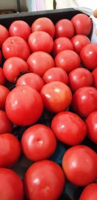 河北省邯郸市丛台区硬粉番茄 精品 弧二以上 硬粉