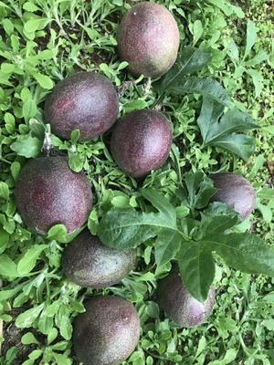 这是一张关于台农一号百香果 统货 的产品图片
