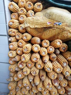 山西省长治市壶关县玉米干粮 净货 水份14%-16%