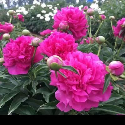 山东省菏泽市牡丹区多花芍药 0.5米以下 2~4cm