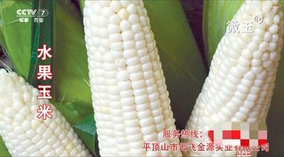 河南省平顶山市鲁山县水果玉米 带壳 甜