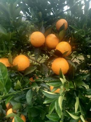 这是一张关于夏橙柑 统货 1.5 - 2两 的产品图片