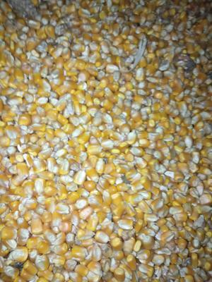 山东省济宁市汶上县玉米干粮 净货 水份14%-16%