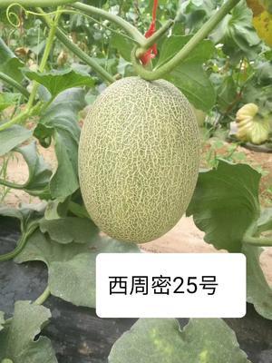 海南省海南省乐东黎族自治县西州蜜25号 3斤以上