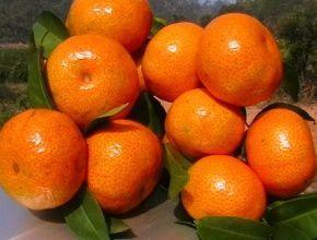 这是一张关于枸橘苗 嫁接苗 0.5~1米 的产品图片