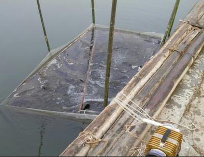 四川省眉山市东坡区裸鲤 人工养殖 0.05公斤