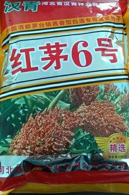 河北省沧州市青县红茅六号高粱种子 杂交种 ≥95%