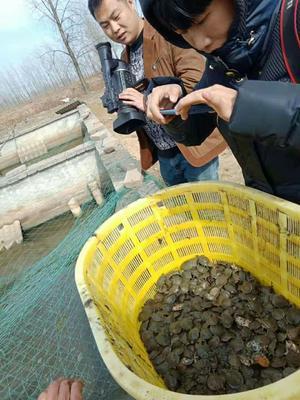 这是一张关于中华鳖苗 的产品图片