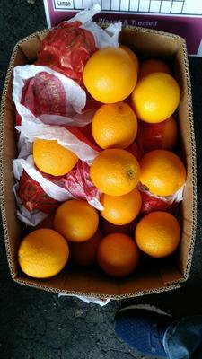 广东省广州市白云区埃及橙子 70-75mm 4-8两