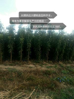 山东省青岛市城阳区脱毒矮化樱桃苗