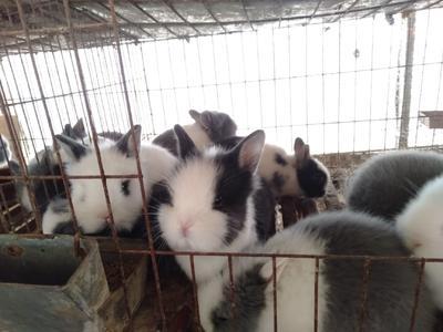 江苏省徐州市丰县猫猫兔 1斤以下