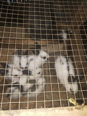 这是一张关于杂交野兔 1斤以下 的产品图片