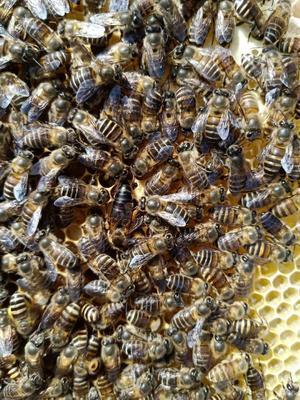 贵州省毕节市大方县中华蜜蜂