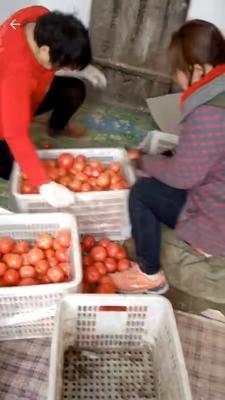河北省邯郸市永年县硬粉番茄 精品 弧三以上 硬粉