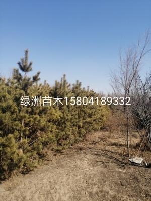 这是一张关于樟子松 的产品图片