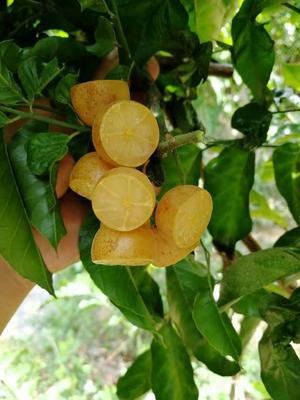 这是一张关于黑黄皮果苗 的产品图片