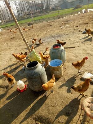 这是一张关于土鸡 2-3斤 统货 的产品图片