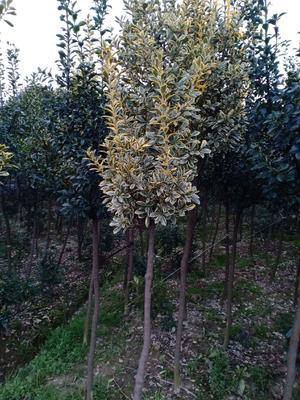 这是一张关于独杆黄杨 的产品图片
