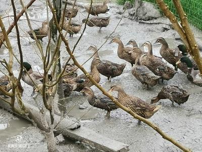 浙江省湖州市南浔区绿头鸭  2-3斤 野鸭