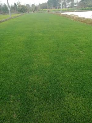 这是一张关于黑麦草 的产品图片