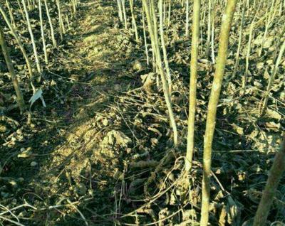这是一张关于麻核桃树苗 的产品图片
