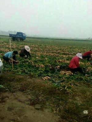 这是一张关于姜种 2~4两 带土 的产品图片