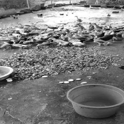 这是一张关于蛋鸭 2-3斤 母 全散养 的产品图片