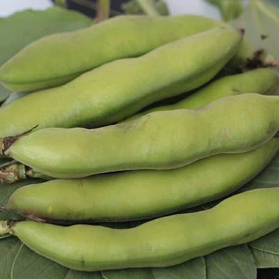 这是一张关于新鲜蚕豆 的产品图片