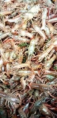 这是一张关于清水小龙虾 2钱以下 人工殖养 的产品图片