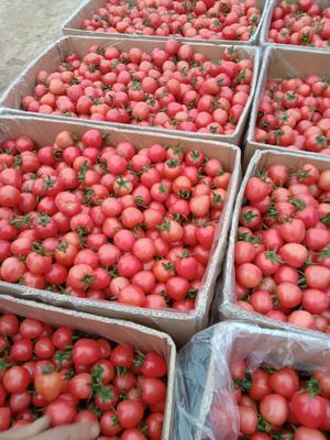 这是一张关于粉贝贝圣女果  现货供应粉贝贝圣女果的产品图片
