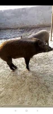 河北省廊坊市永清县特种野猪 统货 100斤以上