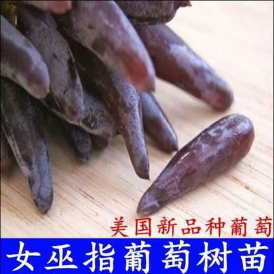 这是一张关于金手指葡萄苗 的产品图片