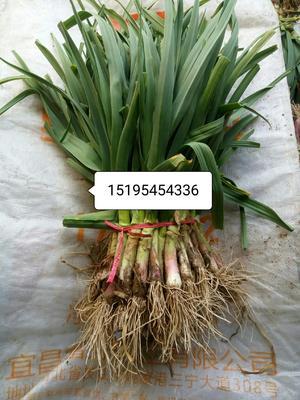 这是一张关于红根蒜苗 40 - 45cm 的产品图片