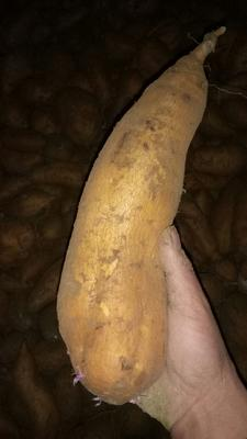 这是一张关于苏薯八号红薯 混装通货 黄皮 的产品图片