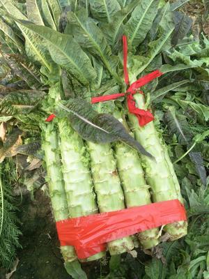 河南省开封市通许县红叶莴笋 1.5~2.0斤 28~40cm