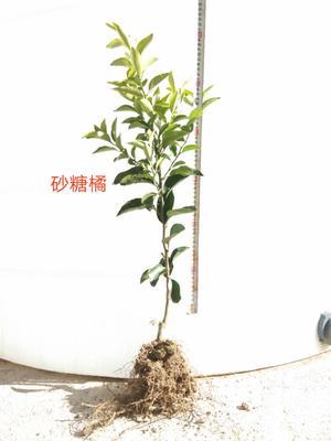 这是一张关于沙糖桔苗 嫁接苗 0.35~0.5米 的产品图片