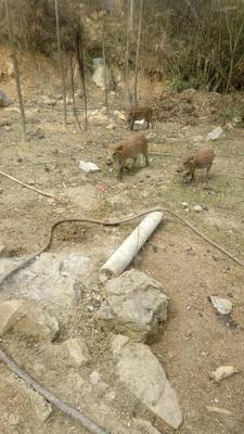 贵州省毕节市大方县特种野猪 母 40-60斤