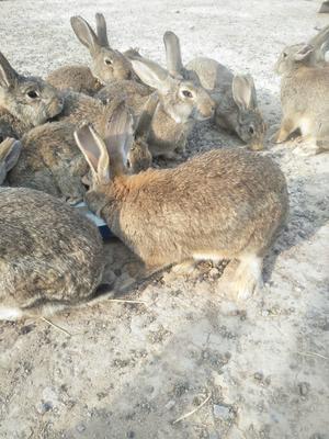 安徽省安庆市望江县比利时野兔 5斤以上