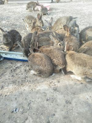 这是一张关于比利时野兔 5斤以上 的产品图片