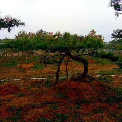 这是一张关于造型松树 的产品图片