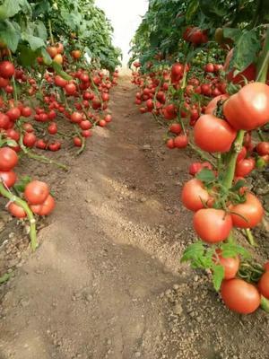这是一张关于硬粉番茄 通货 弧三以上 硬粉 的产品图片