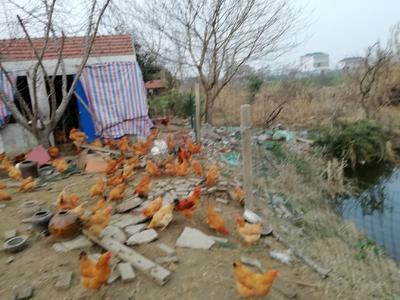 这是一张关于土鸡 4-5斤 母 的产品图片