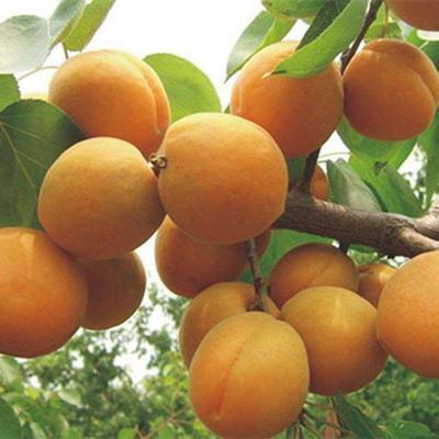 这是一张关于大接杏树苗 的产品图片