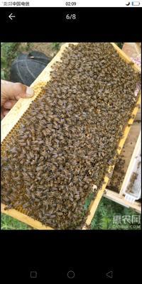这是一张关于中华蜜蜂 的产品图片
