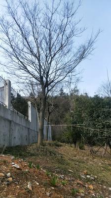 这是一张关于丛生朴树 的产品图片