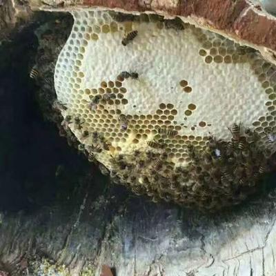 云南省丽江市华坪县土蜂蜜 塑料瓶装 2年 100%