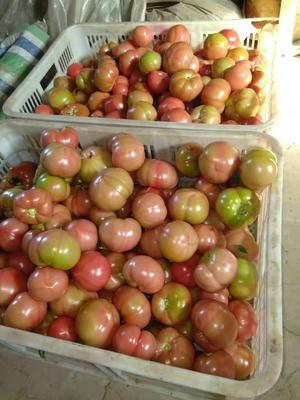 这是一张关于硬粉番茄  精品 出售西红柿的产品图片